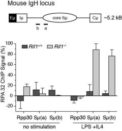 RIF1-deficiency in mice results in aberrant nucleolytic processing of DSBs during immunoglobulin class-switch recombination