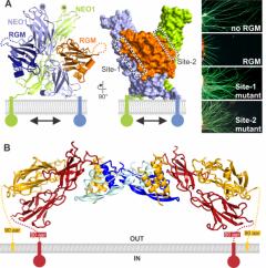 Repulsive Guidance Molecule (RGM) in complex with its receptor