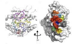 immune responses to HIV