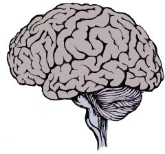 Adult brain