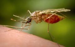 Close up Image of a mosquito feeding on a person's arm