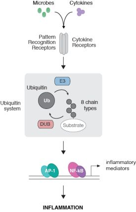 A schematic of the main research in the Gyrd-Hansen lab. Microbes and cytokines are recognised by pattern recognition receptors and cytokine receptors respecitvely. This initiations a signalling cascade mediated by E3 ubiquitin ligases that catalyse the addition of 8 types of ubiquitin chains onto substrate proteins. Deubiquitinases catalyse the breakdown of these chains. The ubiquitin signalling system causes transcriptional induction of inflammatory mediators via the transcription factors AP-1 and NK-kappaB to trigger inflammation.