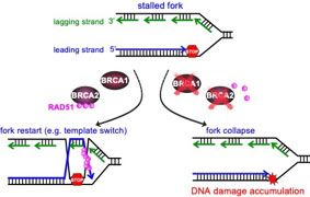Figure 3 - BRCA1 and BRCA2 proteins facilitate accurate DNA replication.jpg