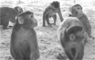 Oxford research reveals that brain structure predicts social status in monkeys