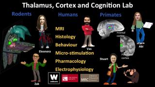 Thalamus_cortex_cognition