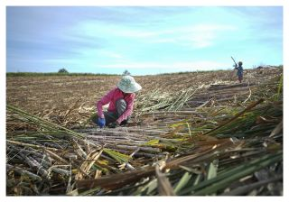 A migrant mother is harvesting sugarcane. The child tries to get mum's attention. It is around school holiday, and she has to bring her child along with her because there is no one home.