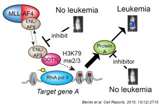 Milne group epigenetics and gene regulation in leukaemia 9