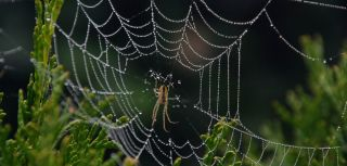 Spiders can monitor vibrations in their webs via 'signal threads'
