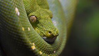 Snakebite envenoming Snakebite envenoming