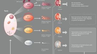 We are using a human genetic approach that relies on the latest developments of Next Generation Sequencing technology to study the intimate relationship that exists between the occurrence of new mutations and the regulation of cell fate choices in the male germline. Because life-long production of sperm is supported by regular divisions of so-called spermatogonial stem cells, each one of us acquire ~30-100 new mutations in our genome, the majority of which is paternal in origin.