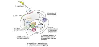 New study reveals molecular basis of jet lag