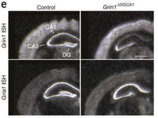 Paper in nature neuroscience new evidence for the role of hippocampal nmda receptors