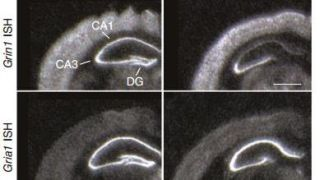 Paper in Nature Neuroscience: New Evidence for the Role of Hippocampal NMDA Receptors