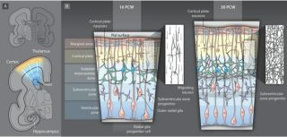 Cortical arealisation and thalamocortical connectivity