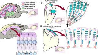 Evolution of cortical development