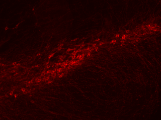 Dopamine neurons in the substantia nigra pars compacta