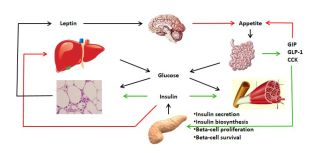 Energy homeostasis in man: the gut-brain axis