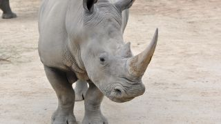 Dr Suzannah Williams and her research team have begun work to find a new way of saving the Northern White Rhino by using tissue taken from animal ovaries to produce potentially large numbers of eggs in a laboratory setting.