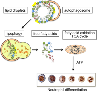 Autophagy dependent generation of free fatty acids