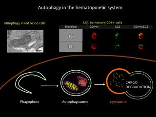 Simon group autophagy in the immune system
