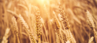 Spin out company sugarox to produce and market novel crop stimulant