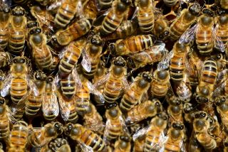 The evolution of division of labour honey bees
