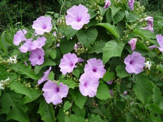 Ipomoea chondrosepala, a species of the sweet potato family
