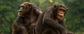Chimpanzees shown spontaneously taking turns to solve number puzzle