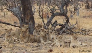 Shining light on lion management practices and bone trade