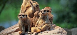 A group of meerkats in a zoo