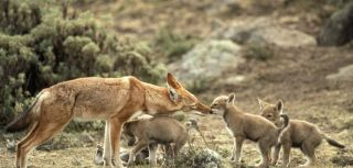 Oral vaccination protects africa2019s most endangered carnivore the ethiopian wolf
