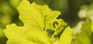 Do plant feeding insects effect photosynthesis