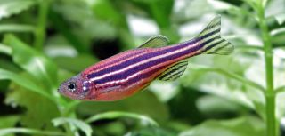 How the zebrafish could hold the key to heart disease cure