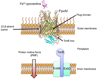 Protein antibiotic hijacks iron transporter to kill bacterial cells.png