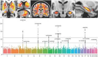 First genetic analysis of brain function and structure using uk biobank imaging data yields exciting results.jpg
