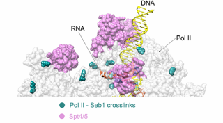 New paper shows how transcription terminates with the help of a phosphatase.png