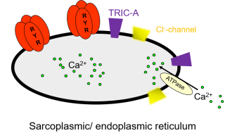 All cells contain intracellular stores of ca2