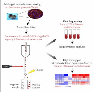 Optimized methods to isolate sub populations of adult or aged neurons