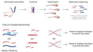 Factors influencing meiotic recombination revealed by whole genome sequencing of single sperm