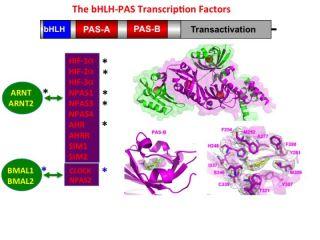 The bHLH-PAS Transcription Factors