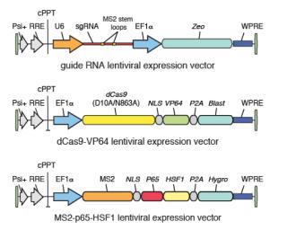 CRISPR gain of function screening — Target Discovery Institute