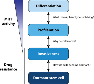 A schematic of the research themes in the Goding lab depicting 4 cellular states: differentiation, proliferation, invasiveness and dormant stem cell. MITF activity is highest in the differentiation state, decreasing in the proliferation and invasiveness states. Drug resistance in relevant in the invasiness and dormant stem cell states. Research questions include: What drives phenotype switching? Why do cells move? How do cells become dormant?