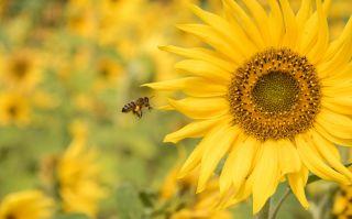 Bee sunflower.jpg