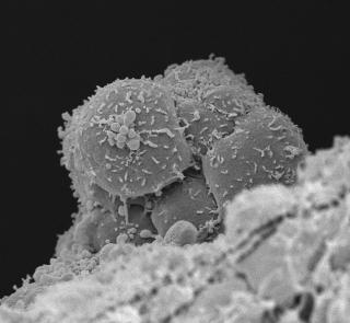 Stemcellhaemogenicendothelium.png