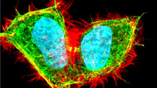 DAPI (blue) / α-tubulin (green) / F-actin (red). Imaged in a Leica SP8 Confocal Microscope by Dr B. Christoffer Lagerholm and Prof Christian Eggeling (MRC HIU, MRC WIMM)