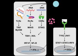 Rehwinkel group nucleic acid sensing 19