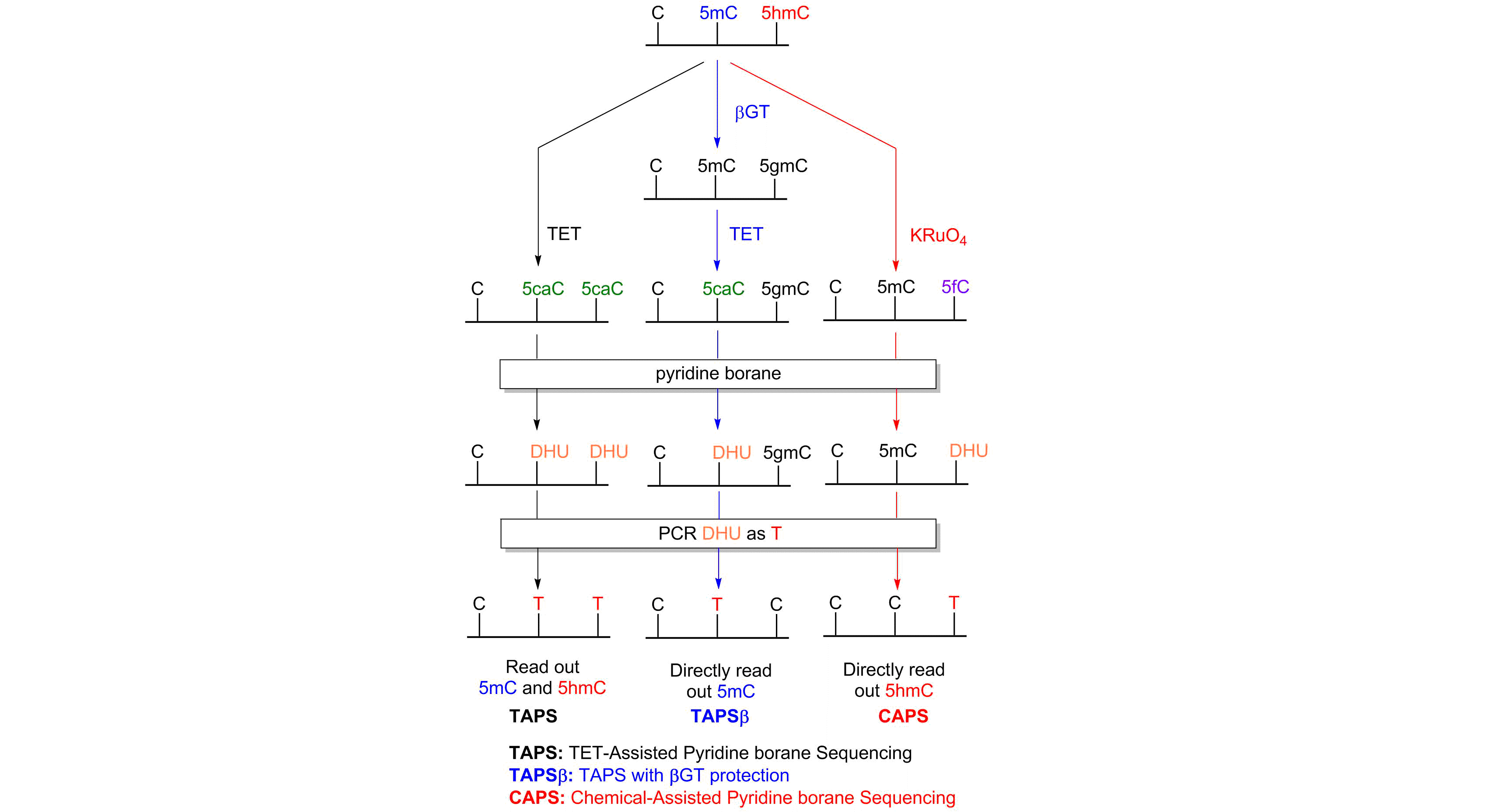 A schematic of the TAPS (TET-assisted pyridine borane sequencing), TAPSbeta (TAPS with beta-glucosyltransferae (betaGT) protection) and CAPS (chemical-assisted pyridine borane sequencing) reactions. In TAPS, 5-methylcytosine (5mC) and 5-hydroxymethylcytosine (5hmC) are converted using TET enzyme to 5-carboxylcytosine (5caC). Pyridine borane converts 5caC to dihydouracil (DHU), which is converted to thymine (T) during PCR. Cytosine (C) to T transitions during TAPS therefore read out cytosines that were originally modified with either 5mC or 5hmC. In TAPSbeta, betaGT converts 5hmC (but not 5mC) to 5gmC. TET enzyme converts 5mC (but not 5gmC) to 5caC, which is then converted using pyridine borane to DHU (leaving 5gmC untouched). In the PCR step, DHU is converted to T and 5gmC is converted to C. C to T transitions during TAPSbeta therefore read out cytosines that were originally modified with 5mC but not those originally modified with 5hmC. In CAPS, potassium perruthenate is used to convert 5hmC (but not 5mC) to 5-formlycytosine (5fC). Pyridine borane converts 5fC to DHU, which is then converted to T during PCR. C to T transitions during CAPS therefore read out cytosines that were originally modified with 5hmC but not those originally modified with 5mC.