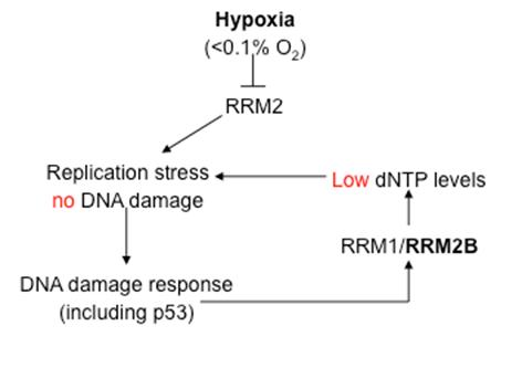 Tumour Hypoxia Group 2
