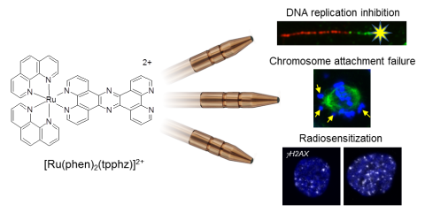 A ruthenium-containing metallo-intercalator simultaneously inhibits DNA replication, blocks mitosis and enhances DNA-damaging ionizing radiation in oesophageal cancer cells.