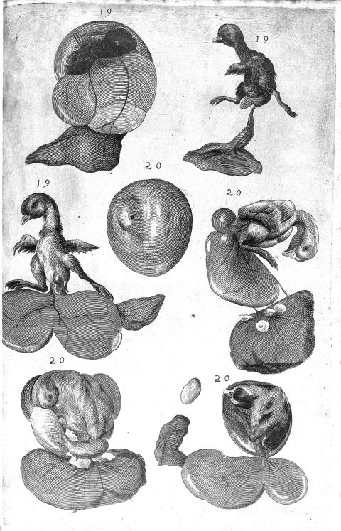 A chick embryo shown in 7 stages